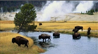 could be Buffalo's crossing the platte